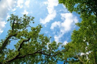 Viewing looking straight up with tree tops and a blue sky with white clouds