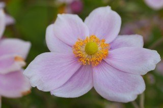 Close up Pink Anemone (Windflower)