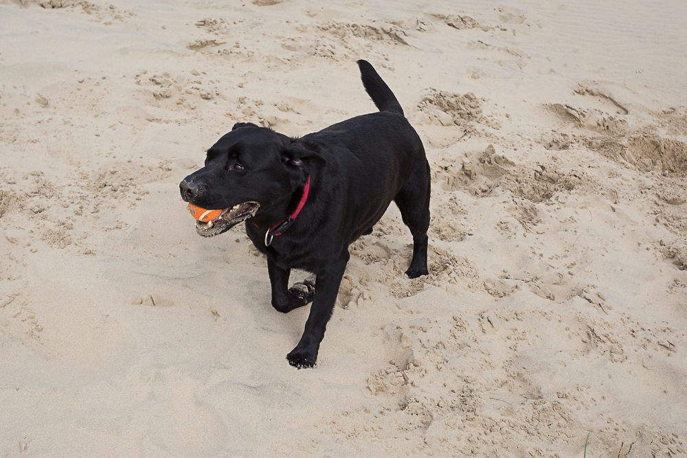 Black labrador dog with a ball in his mouth